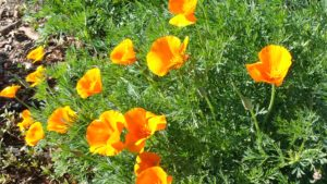 California poppies can be found in South San Jose